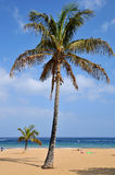 Palm tree on beach at tenerife royalty free stock images