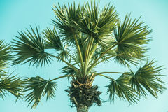 Palm tree. Beautiful plam tree with sky background - Vintage Film Filter Royalty Free Stock Photo