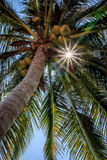 Palm tree. Beautiful palm tree with sun ray on it royalty free stock photography