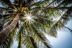 Palm tree. Beautiful palm tree with sun ray on it royalty free stock image