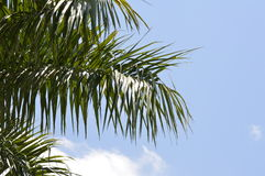 Palm tree with beauty blue sky Royalty Free Stock Images