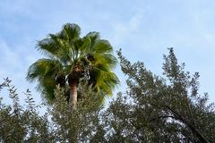 Palm tree behind the brunches of an olive tree. royalty free stock photography