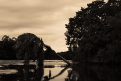 Palm tree in the Belize River near Belize City Stock Image