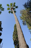 Palm tree from below. Looking upward against a blue sky Royalty Free Stock Photo
