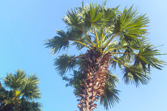 Palm tree from below Royalty Free Stock Photo