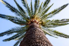 A palm tree with a big trunk Royalty Free Stock Photo