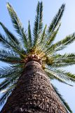 A palm tree with a big trunk Stock Images