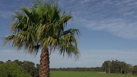 Palm tree with a big a wine garden at background in Margaret River, Western Australia stock footage