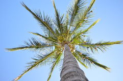 Palm tree with birds nests Royalty Free Stock Images