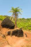 Palm tree and black stones in Goa Royalty Free Stock Photos