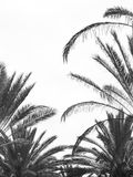 Palm tree Royalty Free Stock Images