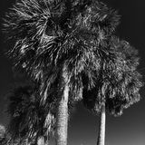Palm tree. Black and white palm Stock Images