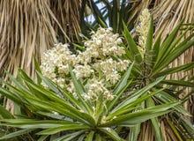 Palm tree blossom Stock Photography