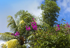 Palm tree and the blossoming bugenviliya against the blue sky Stock Photo