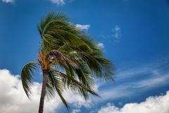 Palm tree blowing in the wind royalty free stock image