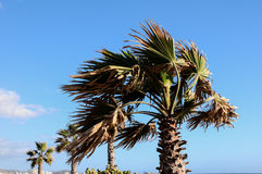Palm Tree Blowing In The Wind Royalty Free Stock Photography