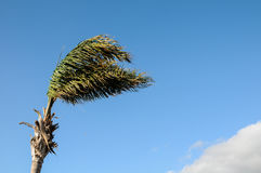 Palm Tree Blowing In The Wind Royalty Free Stock Photos