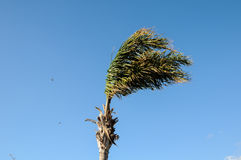Palm Tree Blowing In The Wind Stock Photography