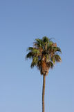 Palm tree on blue background. Top of lone palm tree with blue sky background Royalty Free Stock Images