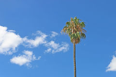 Palm tree in a blue cloudy sky Royalty Free Stock Photo