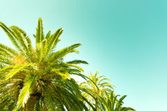 Palm tree with blue green background Stock Photography