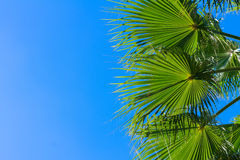 Palm tree on blue. Palm tree green  leaves on bright blue sky background Stock Photography