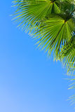 Palm tree on blue. Palm tree green  leaves on bright blue sky background with copy space Stock Photography