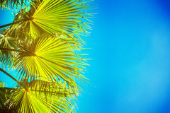 Palm tree on blue Stock Images
