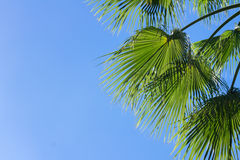 Palm tree on blue. Palm tree green  leaves on clear blue sky background Royalty Free Stock Photo