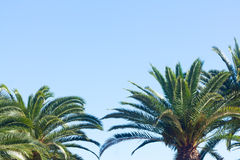 Palm tree on blue. Palm tree leaves on clear blue sky background Royalty Free Stock Photography