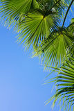 Palm tree on blue. Palm tree leaves on clear blue sky background, vertivcal image Stock Photography
