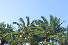 Palm tree on blue. Palm tree leaves with sunshine on clear blue sky background Royalty Free Stock Photos