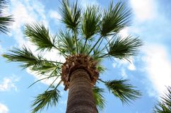 a palm tree on a blue sky Royalty Free Stock Images