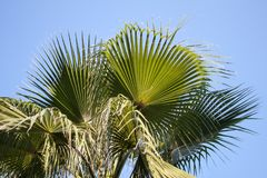 Palm Tree. On Blue Sky stock photography