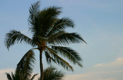 Palm Tree and Blue Sky. A palm tree against a blue sky Royalty Free Stock Images