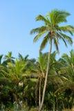 Palm tree and blue sky Stock Image