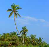 Palm tree and blue sky Royalty Free Stock Photography