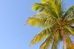 Palm Tree. And a Blue Sky Royalty Free Stock Photos