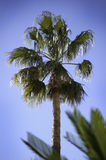 Palm tree and blue sky Royalty Free Stock Image