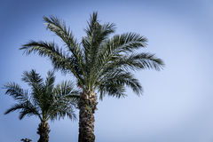 Palm Tree. On Blue Sky Stock Images