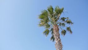 Palm tree and the blue sky on the back ground on a windy sunny day.  stock footage