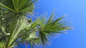 Palm on blue sky background. Palm tree on blue sky background stock footage
