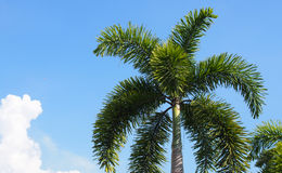 Palm tree. With blue sky background Royalty Free Stock Photography