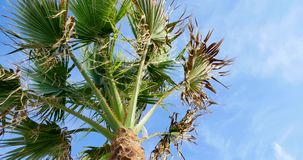 Palm tree on blue sky background.  stock video footage