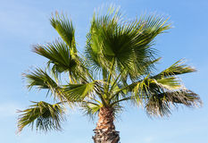 Palm tree on blue sky background. Stock Photo