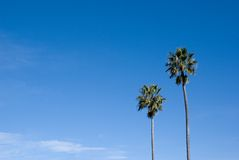 Palm Tree, Blue Sky copy space. Two lonely palm trees with copy space in blue sky. Old friends. Or perhaps mentor and student. Father, son Stock Photo
