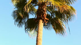 Palm Tree. Blue Sky with Green Palm Tree stock footage