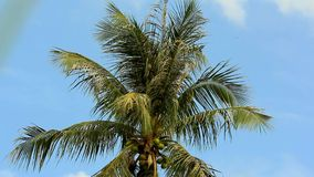 Palm Tree in the Blue sky. HD. 1920x1080. Palm Tree in the Blue sky. 1920x1080 stock footage