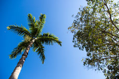 Palm Tree with a blue sky. Palm Tree in Naples, Florida, United States Royalty Free Stock Photography
