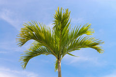Palm tree on blue sky Royalty Free Stock Photo